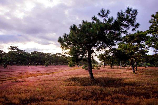 Rừng thông và đồi cỏ hồng tuyệt đẹp ở Đắc Đoa