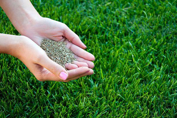 Hướng dẫn kỹ thuật trồng cỏ Bermuda